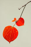 Red autumnal leaves Royalty Free Stock Photos