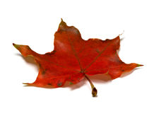 Red autumnal maple leaf Royalty Free Stock Photography