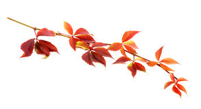 Red autumnal twig of grapes leaves (Parthenocissus quinquefolia Royalty Free Stock Image