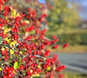 Red autumnal wild fruits. Beautiful hawthorn berries with vivid colors Stock Photography