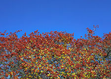 Red autumnal wild fruits. Beautiful hawthorn berries with vivid colors and blue sky Stock Image