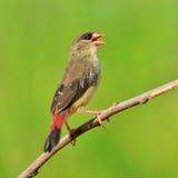 Red Avadavat bird Stock Photography