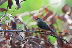 Red Avadavat (female) Stock Photography