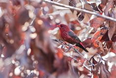 Red Avadavat (male) Royalty Free Stock Photo