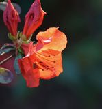 Red azalea. Blooming in the garden Stock Photography