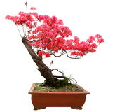 Red azalea bonsai. Isolated on white background stock image