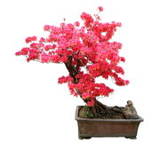 Red azalea bonsai Royalty Free Stock Images