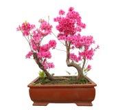 Red azalea bonsai Royalty Free Stock Photography
