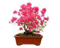 Red azalea bonsai Stock Photo