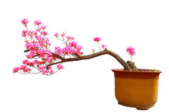 Red azalea bonsai Royalty Free Stock Images