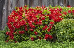 Red Azalea Bush. In full bloom in a garden setting. Weathered wooden fence background royalty free stock images