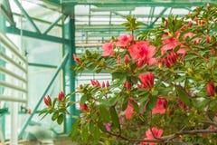 Red azalea bush in the greenhouse Royalty Free Stock Photos