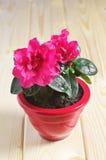 Red Azalea Flower Royalty Free Stock Photography