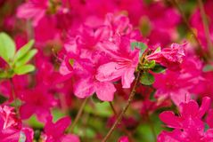 Red Azalea Flower in Bloom royalty free stock photo