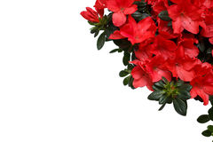 Red Azalea flower on white background with free space for text Royalty Free Stock Photo