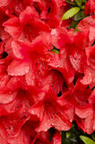 Red azalea flowers Stock Photos