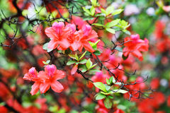 Red Azalea Rhododendron. The blooming Red Azalea Rhododendron in spring Stock Photos