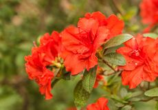 Red azalea rhododendron Appolo. Beautiful blooming red azalea rhododendron Appolo Stock Photo