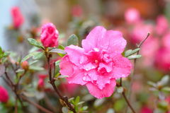 Red Azalea Rhododendron. The blooming Red Azalea Rhododendron in winter in spring city(wammer place Stock Image