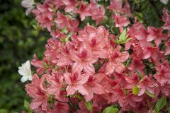 Red azalea. Rhododendron bush in garden. Beautiful flowers. Details of spring plants royalty free stock photography