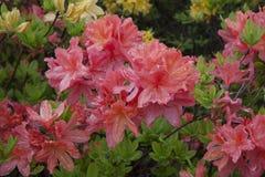 Red azalea. Rhododendron bush in garden. Beautiful flowers. Beautiful spring flowers royalty free stock image