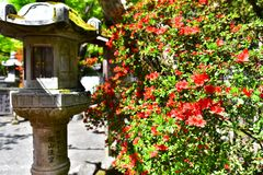 Red Azalea in the shrine in Japan stock photography