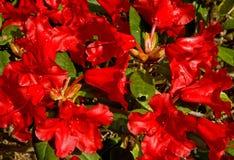 Red Azalea in springtime. Stock Photography