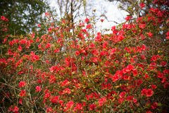Red Azalea. Springtime beautiful blooming azalea in the garden royalty free stock images