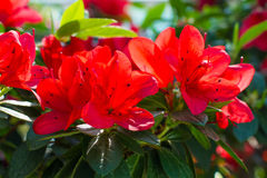Red Azaleas Stock Images