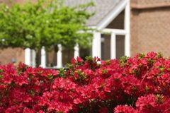 Red Azaleas Royalty Free Stock Images