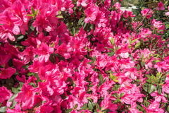 Red Azaleas Flower as Rhododendron Royalty Free Stock Photos