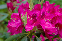 Red azaleas in the park Royalty Free Stock Photo