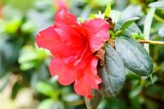 Red azalia flower in garden Stock Photos