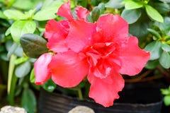 Red azalia flower in garden Stock Image