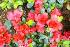 Red azalia flower in garden Stock Photo
