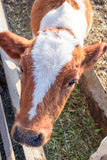 Red baby calf standing at stall at farm Royalty Free Stock Image