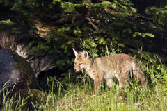 Red baby fox standing in deep grass, Vosges, France Stock Images