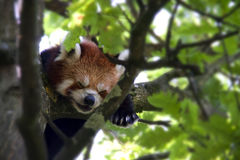 Red Baby Panda sleeping on a tree - close-up Stock Images