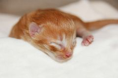 Red babycat. A little newborn red kitten Royalty Free Stock Images