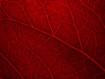 Red back lit leaf Stock Photos