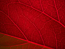 Red back lit leaf Royalty Free Stock Image
