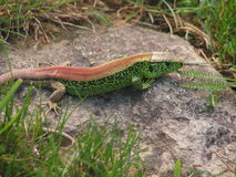 Red back sand lizard Royalty Free Stock Photo