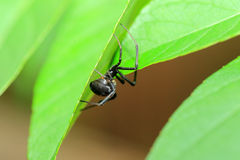Red-back widow spider Royalty Free Stock Photo