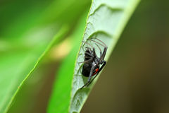 Red-back widow spider. (Latrodectus hasseltii) in Japan Royalty Free Stock Photo