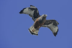 Red-backed hawk, Buteo polyosoma Stock Images