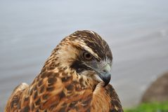 Red Backed Hawk Stock Photo