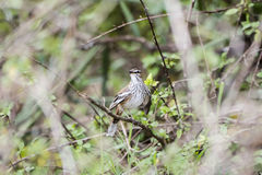 Red-backed Scrub-Robin Cercotrichas leucophrys  Perched on a Branch. In Northern Tanzania Royalty Free Stock Images