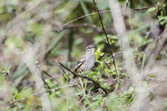 Red-backed Scrub-Robin Cercotrichas leucophrys  Perched on a Branch. In Northern Tanzania Royalty Free Stock Photos