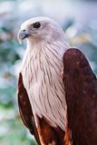 Red-backed sea-eagle Stock Photos