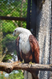 Red-backed Sea-eagle or Brahminy Kite Royalty Free Stock Images